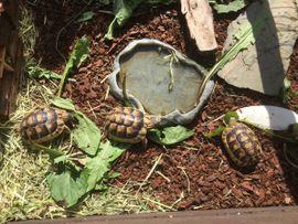 Reptilien, Terraristik - Griechische und Breitrand -Schildkröten zu