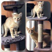 Wunderschöner Baby Kater Kitten Camillo
