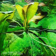Schöne groß werdende Aquariumpflanze