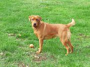 Labrador Welpe Foxred Wurfankündigung
