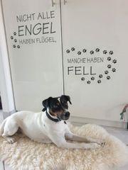 Jack Russell Terrier Rüde Hunde kaufen & verkaufen auf