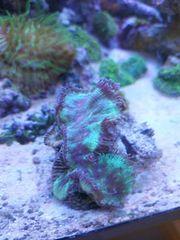 Meerwasser Korallen Ableger