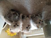 Perser Kitten