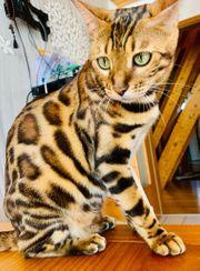 Kleine Leoparden Reinrassige Bengal Kitten