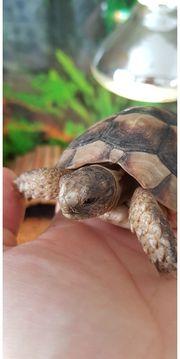 Landschildkröten Breitrandschildkröten NZ von 2021