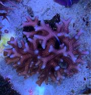 Korallenableger Seriatopora pink selten