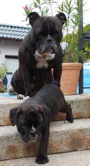 Bulldogwelpen