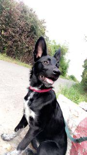 Schäferhund Husky Mix 6 Monate