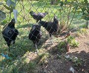 Ayam Cemani Hühner