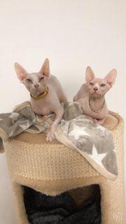 zwei Katzen abzugeben