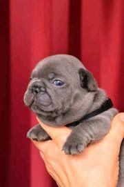 Welpen Französische Bulldogge