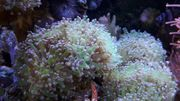Koralle Korallenableger Meerwasser LPS Euphyllia