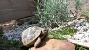 Nachzuchten griechische Landschildkröten Thb herc