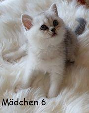 BKH Kitten Katzenbabys Stammbaum mit