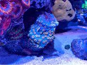 Cyphastrea Bizarro - LPS Meerwasser Korallen