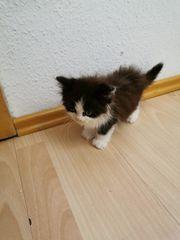 Baby Perser Katze