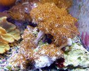 Meerwasser Klyxum simplexWeichkoralle