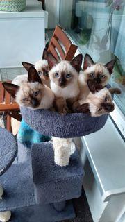 Thai Siam Kätzchen Kitten