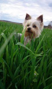 Yorkshire terrier deckrüde zum verlieben