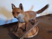 Fuchs präpariert