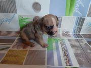 Französische bulldogge Welpen Sonderfarben