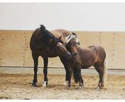 Pony Wallach bis ca 1m