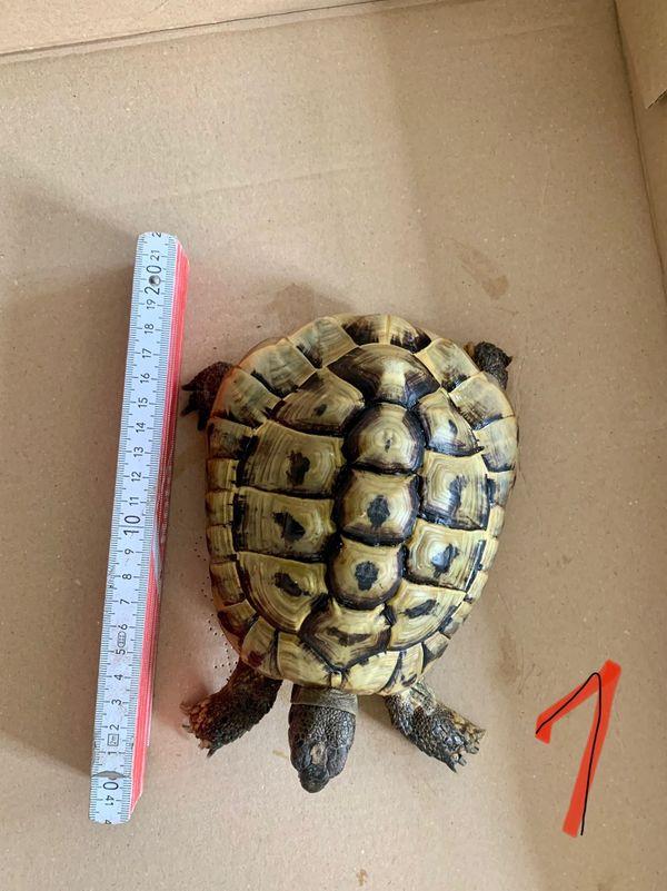 2 Griechische Landschildkröte Testudo hermanni