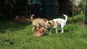 Chihuahua Rüde Kurzhaar Fuchs braun