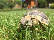 2 4jährige Griech Landschildkröte THB
