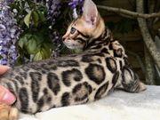 wunderschöne reinrassige Bengal kitten KATER