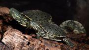 Babys von Trachemys emolli Nicaragua-Schildkröte