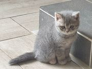 BKH Scottish fold Straight Kitten