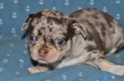Schoko Merle Chihuahua Welpe