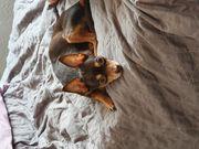 Rusky Toy Terrier DECKRÜDE