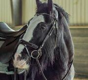 Horse Tinker Stute zu verkaufen