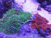 Scheibenanemonen Korallenableger Meerwasser