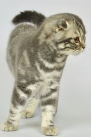 Scottish Fold Straight mit Stammbaum