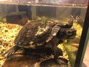Wasserschildkröte legale Nachzucht sucht Neues