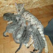Bengal Kitten - süße Bengal Kitten -