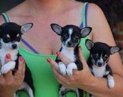 Wunderschöne Chihuahua Welpen mit Ahnentafel
