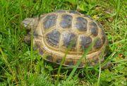 Steppenschildkröten Russisch Landschildkröten NZ 2017