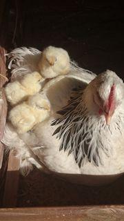 Sundheimer Huhn groß Bruteier aus