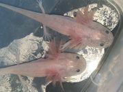 Junge Axolotl in 6 verschiedenen