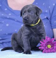 Wunderschöne Labrador Welpen in Silber