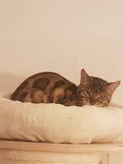 Bengal Kätzchen suchen ab sofort