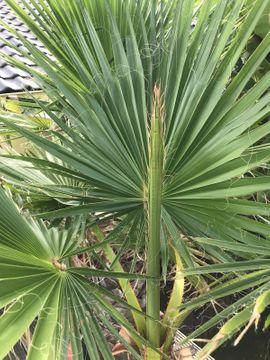 Palmen Washington Robuste: Kleinanzeigen aus Ludwigshafen Oggersheim - Rubrik Pflanzen