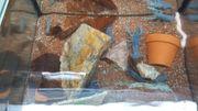 Procambarus alleni blauer Floridakrebs