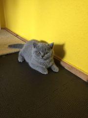 Britisch Kurzhaar BKH Kitten in