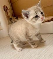 Siam Kätzchen ab sofort