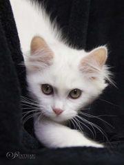Suche Kitten